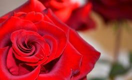 红色上升了 爱 花 免版税图库摄影