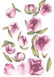 红色上升了 精美爱 手拉的水彩套与叶子的桃红色牡丹花 库存例证