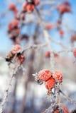 红色与冰柱和雪的狗玫瑰色浆果,在冬天 免版税库存图片