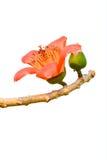 红色丝光木棉树的开花 免版税库存图片