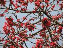 红色丝光木棉树的开花 库存图片