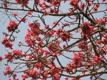 红色丝光木棉树的开花 图库摄影