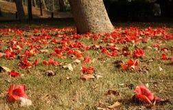红色丝光木棉树的退色的花 库存照片