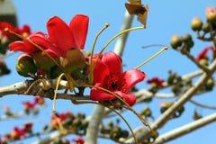 红色丝光木棉结构树(木棉树)的开花 库存照片