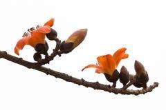红色丝光木棉花-拉丁名字是木棉树木棉 免版税库存照片