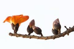 红色丝光木棉花-拉丁名字是木棉树木棉 免版税图库摄影