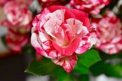 红色两种的颜色和白玫瑰 免版税库存照片