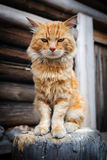 红色严肃的猫 库存照片