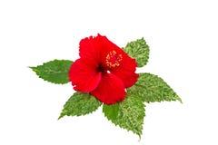 红色中国罗斯花中国木槿宏指令在白色开花 保存与裁减路线 免版税图库摄影