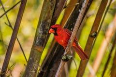 红色主教被栖息在竹子和看之间对边 免版税库存照片