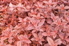 红色事假植物 免版税库存照片