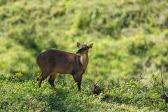 红色二岁的牡鹿 库存图片