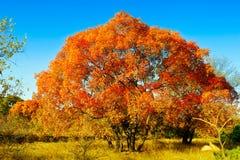 红色五边形槭树叶子 免版税库存照片