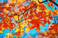 红色五边形槭树留给秋季 库存照片
