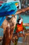 红色五颜六色的夫妇和蓝色金刚鹦鹉坐日志 库存照片