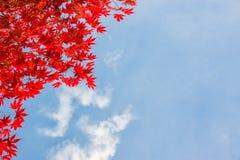 红色五颜六色的秋季槭树离开,蓝天背景与拷贝空间 库存图片