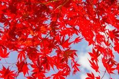 红色五颜六色的秋季槭树离开,蓝天背景 免版税库存照片