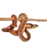 红色亚马逊树蟒蛇, 7天年纪,隔绝在白色 免版税库存图片