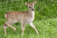红色亲爱的小鹿 免版税图库摄影