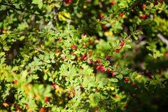 红色伏牛花灌木的枝杈 免版税库存图片