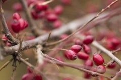 红色伏牛花莓果 库存图片