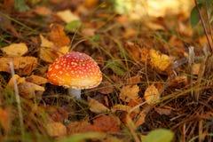 红色伞形毒蕈蘑菇 库存照片