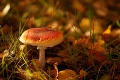 红色伞形毒蕈蘑菇 免版税图库摄影