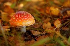 红色伞形毒蕈蘑菇 免版税库存图片