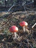 红色伞形毒蕈 库存照片