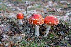 红色伞菌在森林里 免版税库存照片