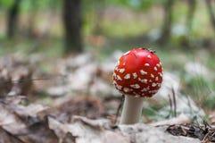 红色伞菌在森林里 图库摄影