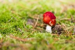红色伞菌在森林 库存图片