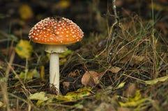 红色伞菌蘑菇在森林里,当时 免版税库存图片