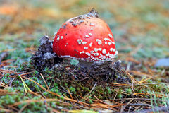 红色伞菌飞行蘑菇 库存照片