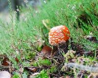 红色伞菌 库存图片