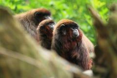 红色伶猴三重奏 库存图片