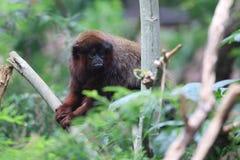 红色伶猴 图库摄影