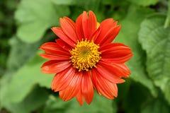 红色使的别的环境美化菊花开花植物非常 免版税库存图片