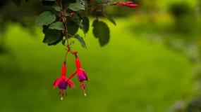 红色倒挂金钟两朵花在绿色的弄脏了背景 库存图片