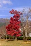 红色偏僻的树在秋天 免版税库存照片