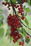 红色健康无核小葡萄干 图库摄影