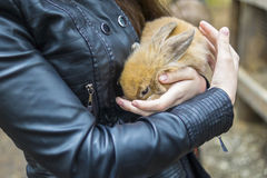 红色兔宝宝在妇女的手上 免版税图库摄影