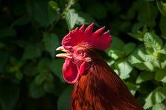 红色公鸡头射击 免版税库存图片