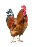 红色公鸡 免版税图库摄影