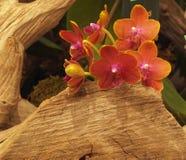 红色兰花自然安排 库存照片