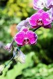 洋红色兰花花束在颜色背景的 库存图片