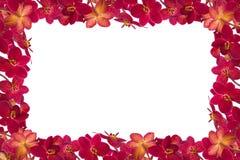 红色兰花 库存图片