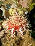 红色冠刺海星 库存照片