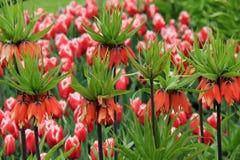 红色冠皇家郁金香的华美的图象 库存图片