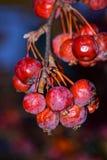 红色冬天莓果,他们变暗了和束手无策从寒冷,但是仍然保持非常美丽 免版税库存照片